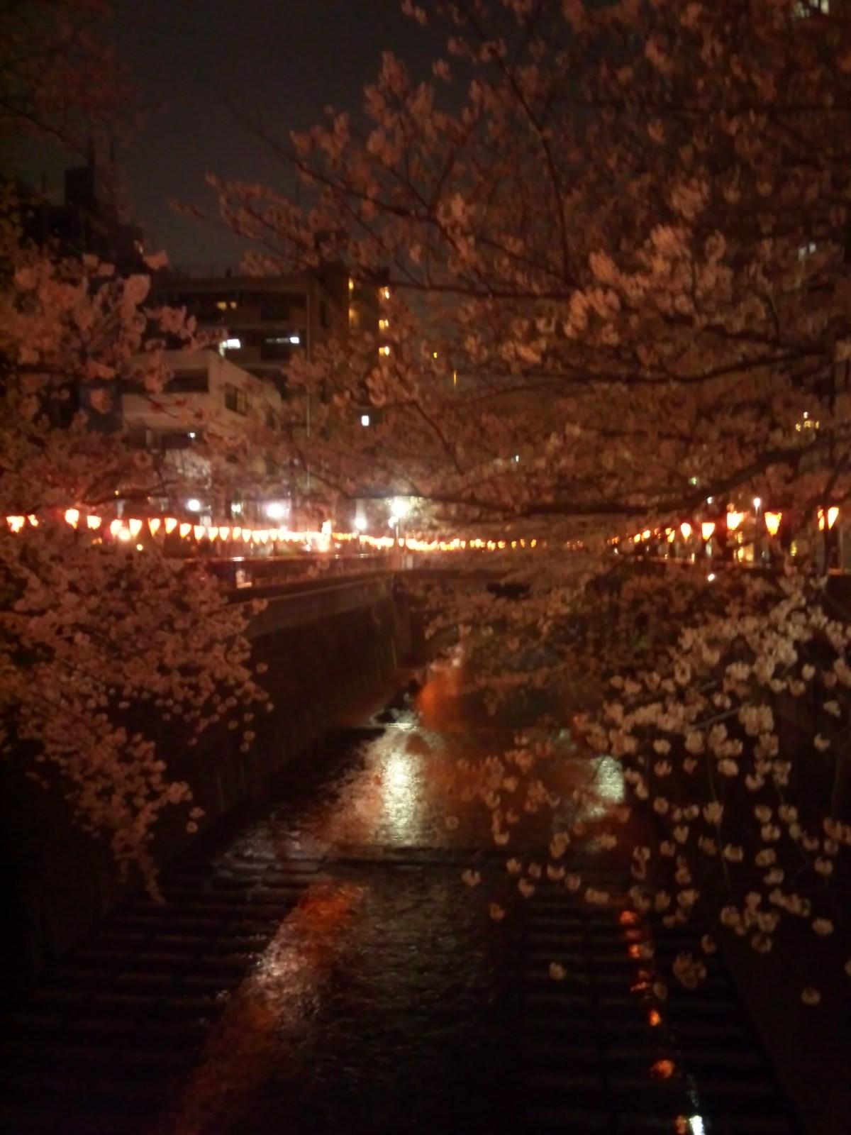目黒川の桜、今年も綺麗に咲きました(^∀^)